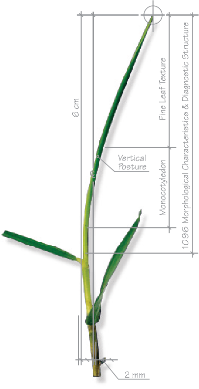 Grass blade diagram