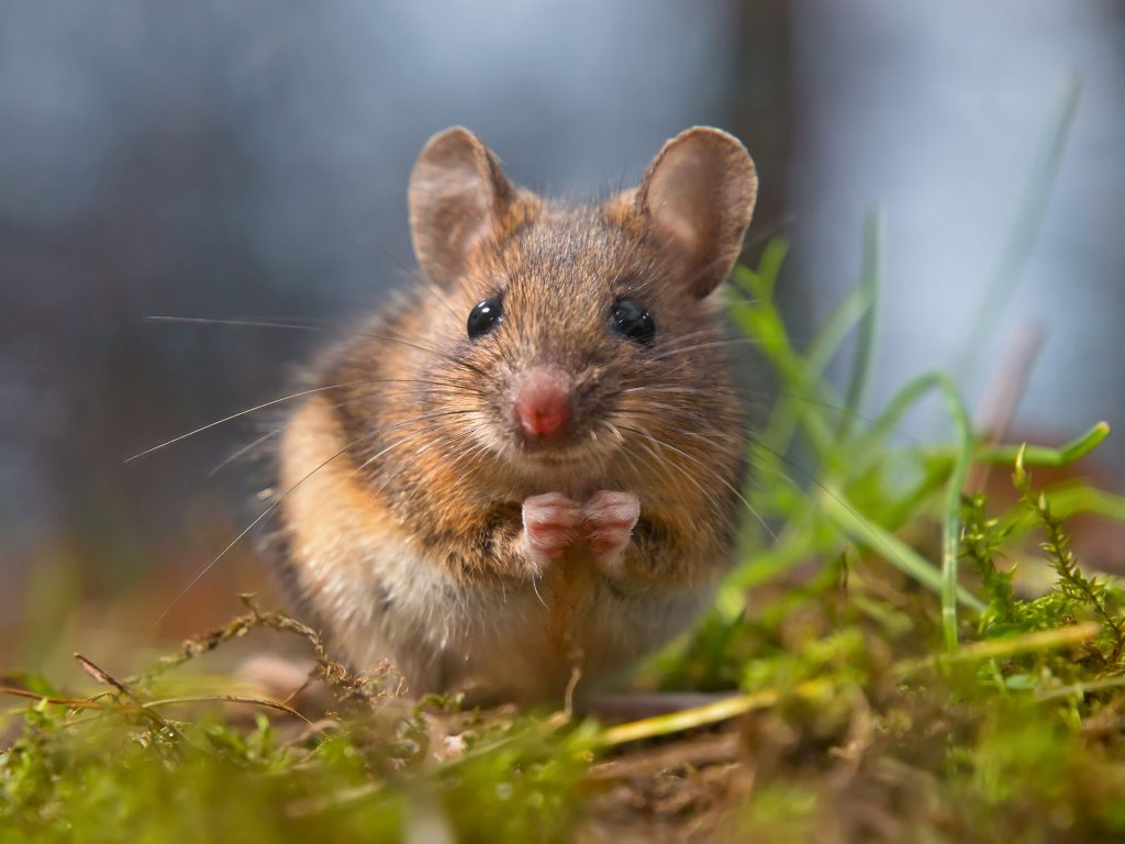 How to Keep Field Mice Out of Your Lawn