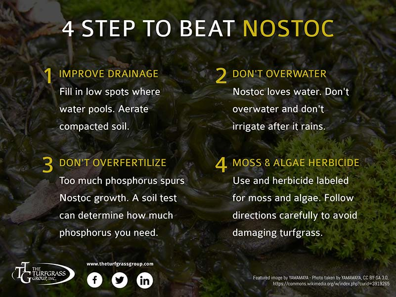 Nostoc A Green Jelly Growing On Your Lawn [infographic]