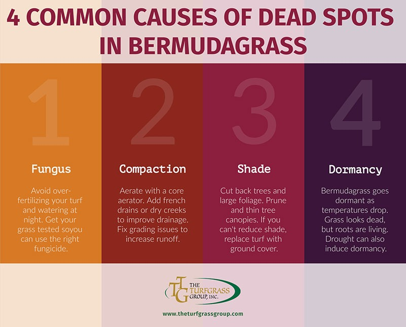 How to Fix Dead Spots in Bermudagrass [infographics]