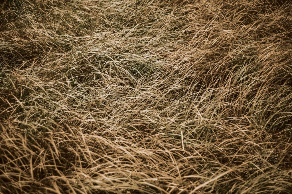 Dormant vs Dead Grass