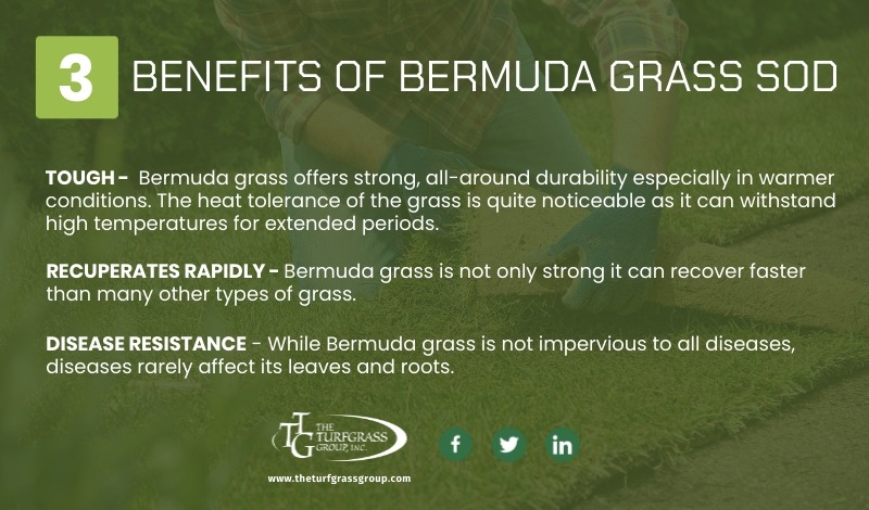 All About Bermuda Grass Sod [infographic]