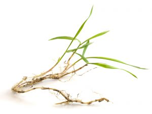 Bermuda Grass vs. Crabgrass